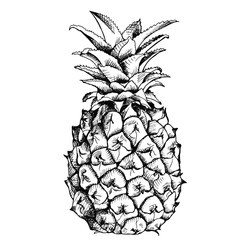 Image of pineapple fruit. Vector black and white illustration.
