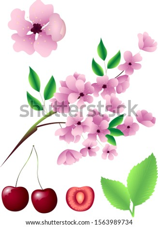 Incredibly beautiful set of vector graphics with a realistic image of sakura blossom. Sakura blossom The fruits of the cherry. Flowers