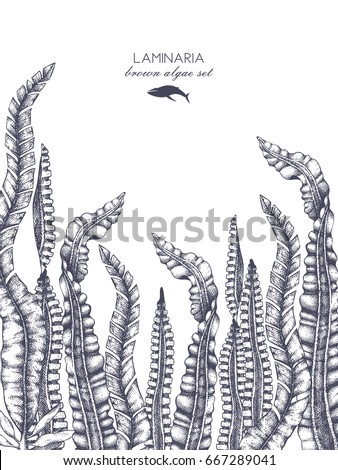 Ink hand drawn laminaria sketch on white background. Wedding card or invitation design with  highly detailed brown algae. Vintage Seaweeds collection. Vector template
