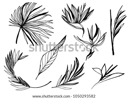 ink line drawn tropical leaves. bird of paradise plant outline. Vector contour drawing. set of plants. etching botanical art.