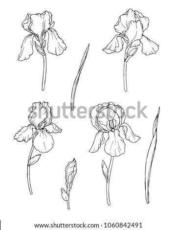 Ink, pencil, black and white iris flowers sketch.Transparent background. Hand drawn nature painting. Freehand sketching illustration.