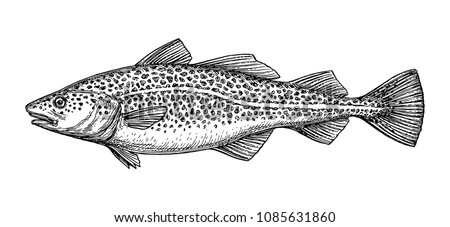Ink sketch of cod fish. Hand drawn vector illustration isolated on white background. Retro style.