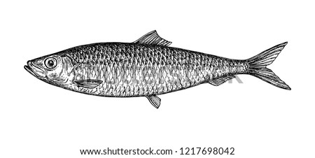 ink sketch of herring hand