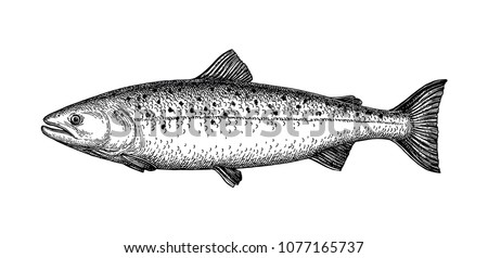 Ink sketch of salmon. Hand drawn vector illustration of fish isolated on white background. Retro style.