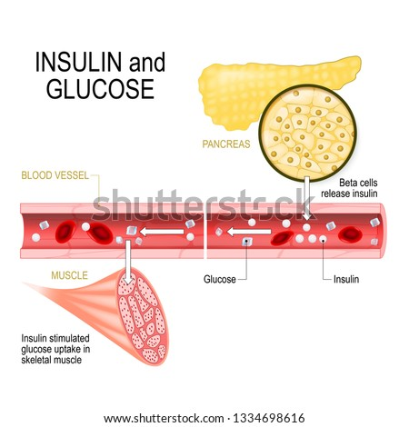 insulin and glucose. Beta-cells (in the pancreas) release insulin in the blood vessel. Insulin stimulates the absorption of glucose in skeletal muscle. Closeup of pancreas and  islets of Langerhans