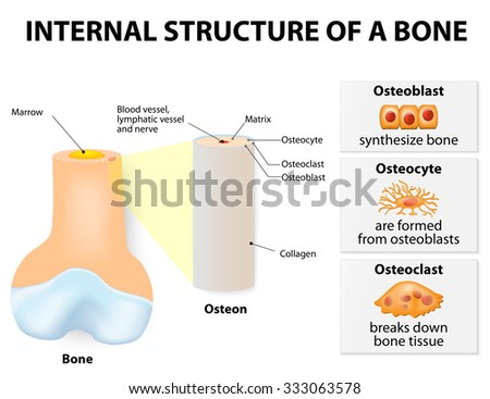 Internal structure of a bone. 3 types of cells are found within bone tissue: Osteoblasts, Osteocytes and Osteoclasts