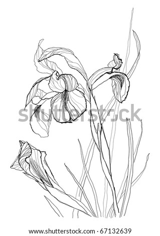 Iris Flower on Iris Flower Drawing On White Background Stock Vector 67132639