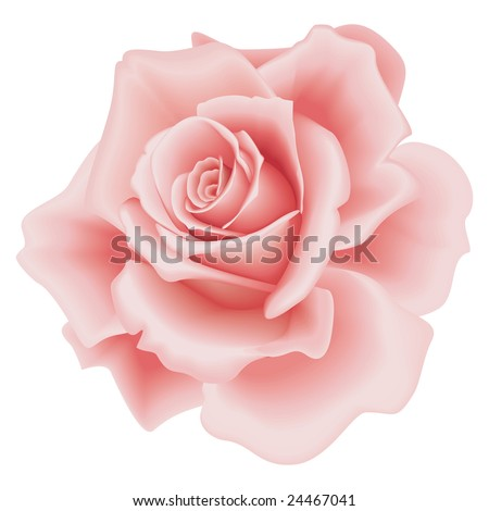 isolated beautiful pink rose on