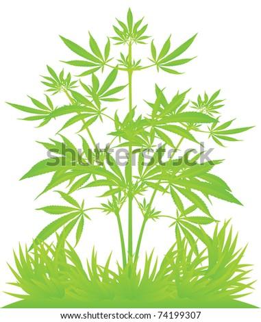 isolated cannabis plants vector