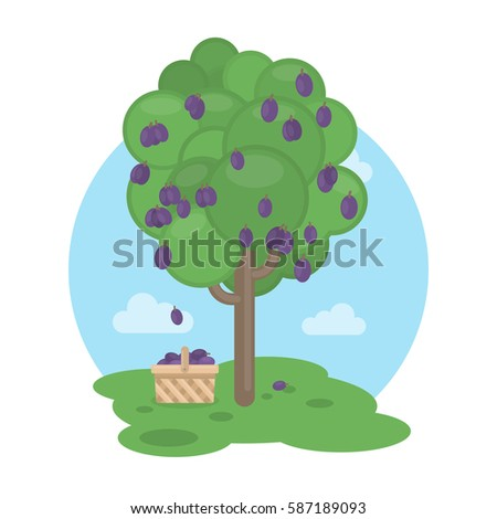 isolated plum tree with basket