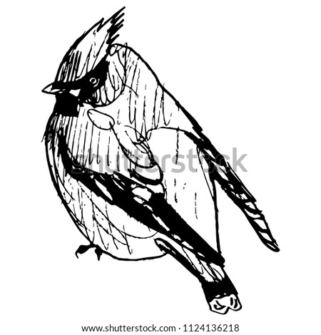 Isolated vector illustration of a waxwing songbird. (Bombycilla garrulus). Hand drawn linear doodle ink sketch. Black silhouette on white background.