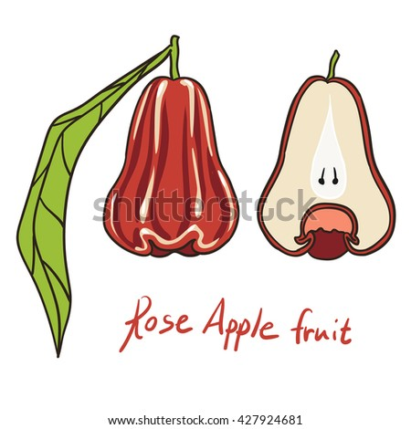 Isolated vector illustration of rose apple - exotic tropical fruit of Asia