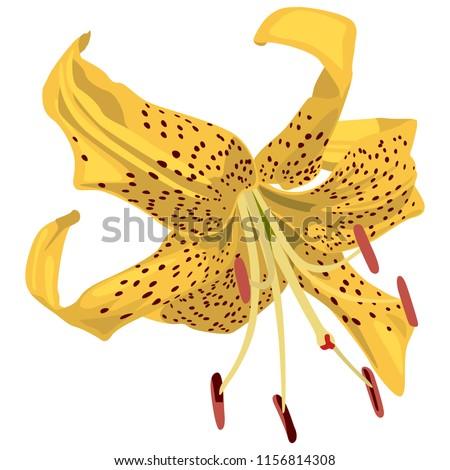 Isolated vector illustration. Yellow Tiger Lily flower. Flat cartoon style.