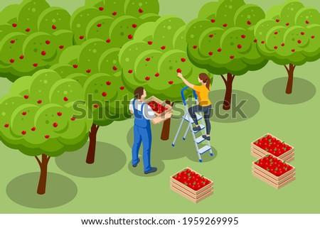 isometric apple orchard  ripe