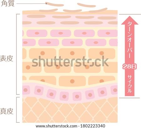 It includes the following Japanese transcription. 'Epidermis' 'corium' 'keratin' 'turn coat' '28 day cycle' Foto stock ©