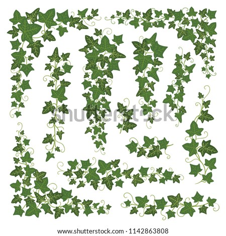 Ivy Branches Green Set Woody Evergreen Climbing Plant With Dark Five Pointed Leaves