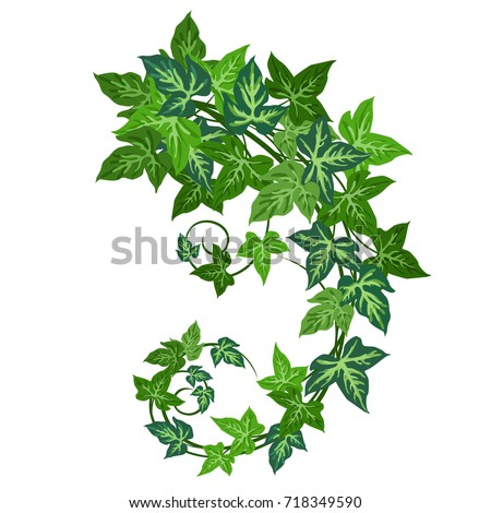 Ivy (Hedera helix). Hand drawn realistic vector illustration of ivy vines isolated on white background.