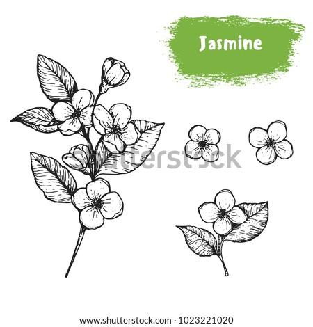 jasmine hand drawn sketch