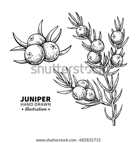 Juniper vector drawing. Isolated vintage  illustration of berry on branch. Organic essential oil engraved style sketch. Beauty and spa, cosmetic ingredient. Great for label, poster, flyer, packaging d