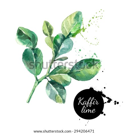 Kaffir lime leaves. Hand drawn watercolor painting on white background. Vector illustration