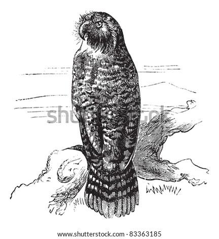 kakapo or strigops habroptila