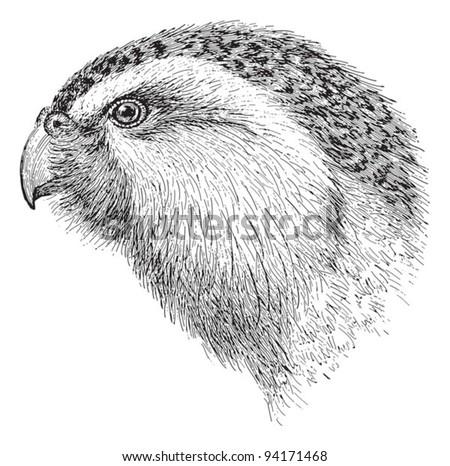 kakapo  strigops habroptila