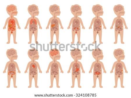 kid body, medical illustration, human organs, child anatomy