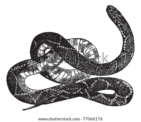 Kingsnake or Lampropeltis getula, vintage engraving. Old engraved illustration of a Kingsnake. Trousset Encyclopedia