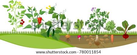 Kitchen garden or vegetable garden with different vegetables