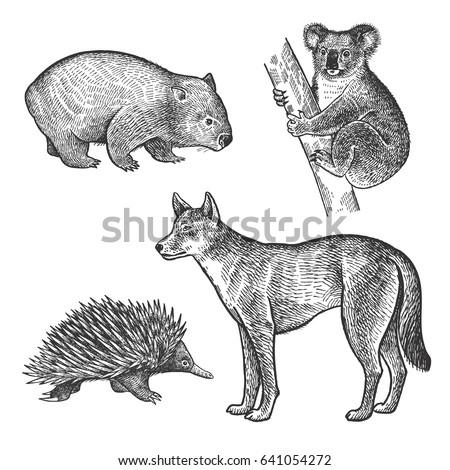 koala bear  wombat  echidna ...