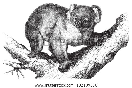 koala  phascolarctus cinereus