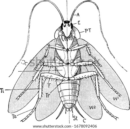 Labels: A, antennae; E, eye; P.T, prothorax; W1, first pair of wings; W2, second pair of wings; C, cercus; St, style; Co, coxa; Tr, trochanter; and other, vintage line drawing or engraving Zdjęcia stock ©