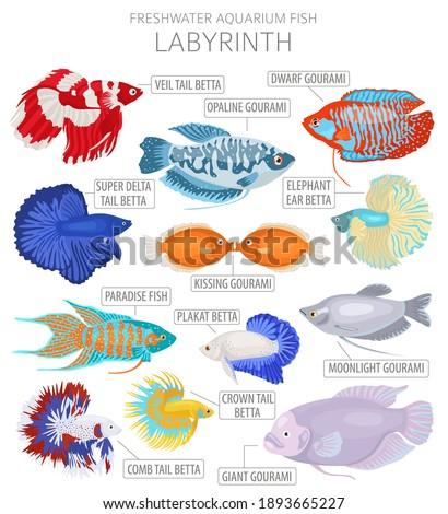 Labyrinth fish. Freshwater aquarium fish icon set flat style isolated on white.  Vector illustration Foto stock ©