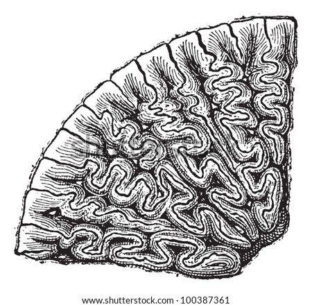 Labyrinthodontia, section of a tooth, vintage engraved illustration. Dictionary of words and things - Larive and Fleury - 1895.