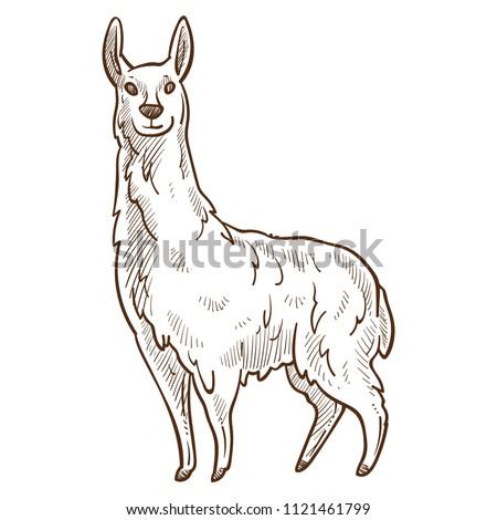 lama animal looking straight