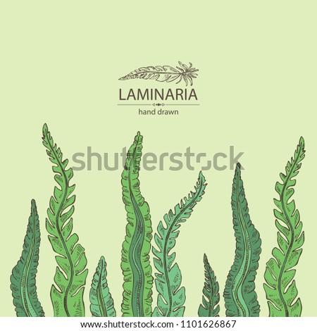 Laminaria: laminaria seaweed, sea kale. Brown algae. Edible seaweed. Vector hand drawn illustration.