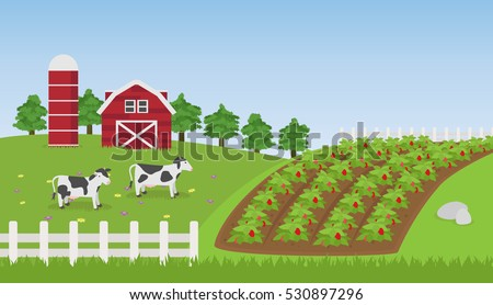 Landscape farm with Strawberry field , Cow and Farmhouse background , vector