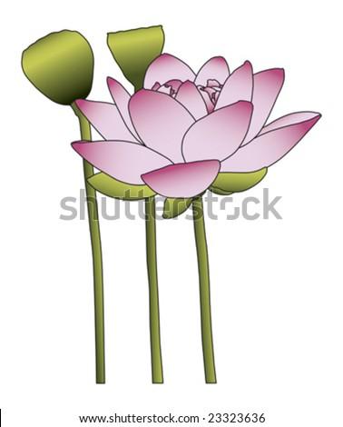 Large pink lotus flower on white background