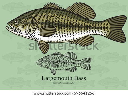 Largemouth Bass. Vector illustration with refined details and optimized stroke that allows the image to be used in small sizes (in packaging design, decoration, educational graphics, etc.)