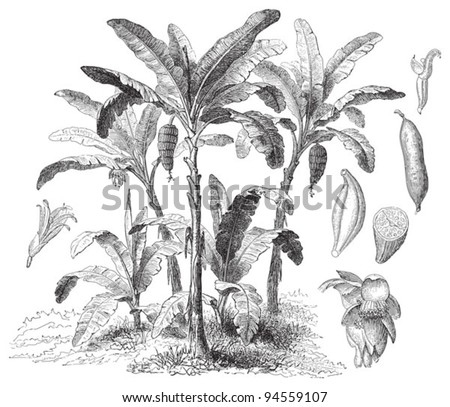 Latundan banana (Musa sapientum) / vintage illustration from Meyers Konversations-Lexikon 1897