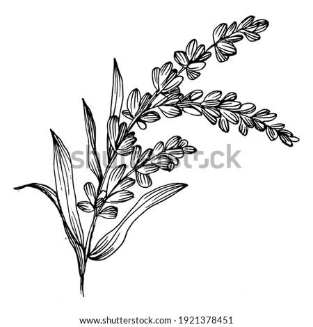 lavender flower. Floral botanical flower. Isolated illustration element. Vector hand drawing wildflower for background, texture, wrapper pattern, frame or border.