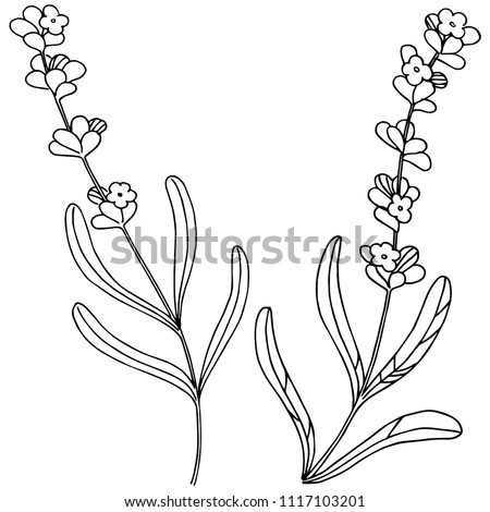 lavender  flower in a vector