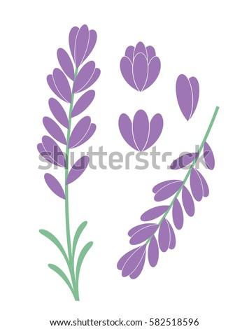 lavender flower isolated