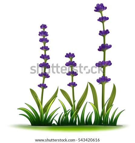 lavender flowers in the bush