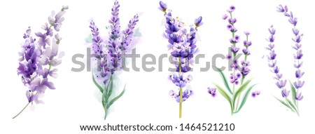 Lavender set Vector watercolor. Beautiful floral bouquets isolated on white illustration Foto stock ©