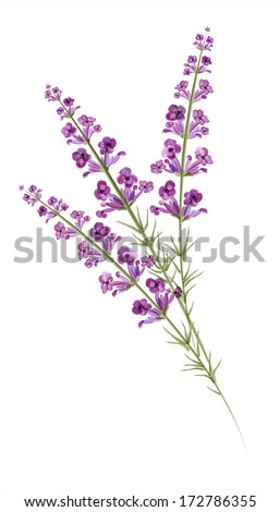 lavender watercolor drawing