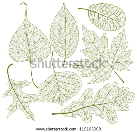 leaf skeletons vector set