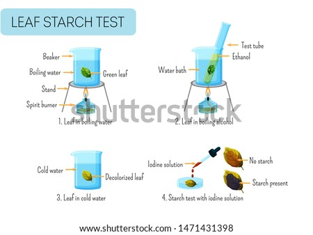 Leaf starch test. School scientific experiment proves photosynthesis in leaves. Boiling leaf in water, ethanol, washing, reaction with iodine solution. Educational infographics. Vector illustration.
