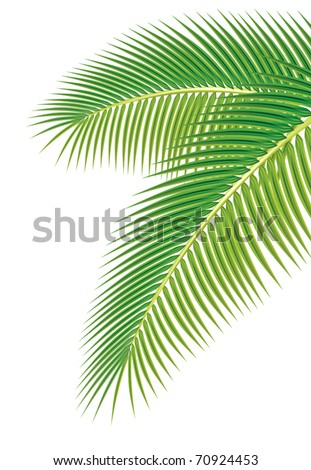 Leaves of palm tree on white background Vector illustration.
