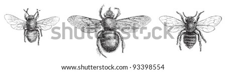 left Chalicodoma muraria, middle Violet carpenter bee (Xylocopa violacea), right Leafcutter bee (Megachile centuncularis) / vintage illustration from Meyers Konversations-Lexikon 1897 - stock vector